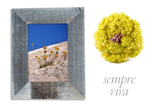 Σεμπρεβίβα, το χρυσαφί λουλούδι της ελληνικής υπαίθρου που είναι πάντα ανθισμένο! Συμβολίζει την αιώνια αγάπη και συνδέεται με τον μύθο του Πάρη και της ωραίας Ελένης