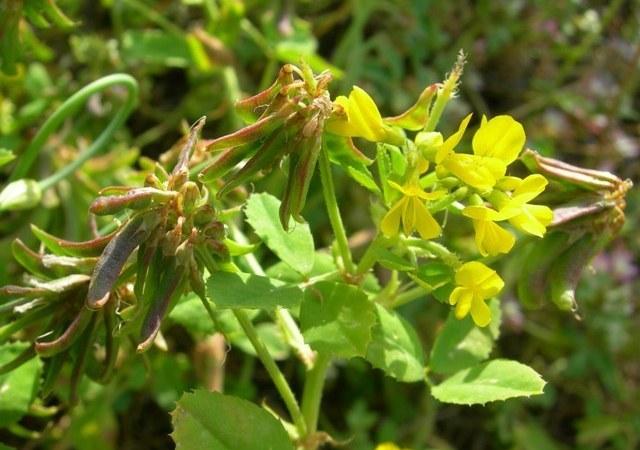 Αυτό είναι το φυτό που μειώνει σάκχαρο και βάρος