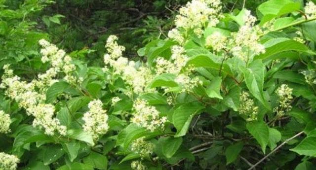 ΑΠΙΣΤΕΥΤΟ! Ποιο είναι το κινέζικο φυτό που εξαφανίζει τον καρκίνο σε 40 μέρες