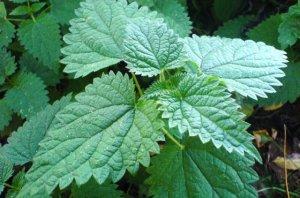 Read more about the article Το θαυματουργό φυτό που οφελεί την καρδιά, το νευρικό σύστημα και εμποδίζει την πρόωρη γήρανση!