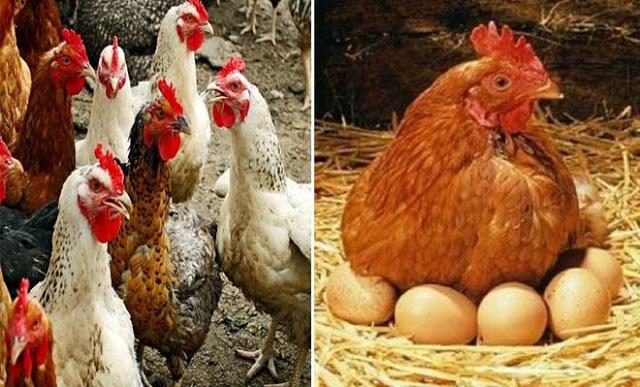 Η κότα έκανε το αυγό ή το αυγό την κότα