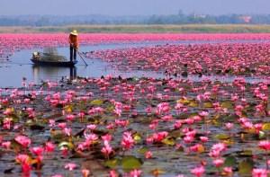 Μια λίμνη γεμάτη με ροζ άνθη από λωτούς. Ένα υπερθέαμα της φύσης στην Ταϊλάνδη