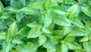 Θέλεις επίπεδη κοιλιά; Δοκίμασε αυτά τα 5 βότανα που καίνε το λίπος!