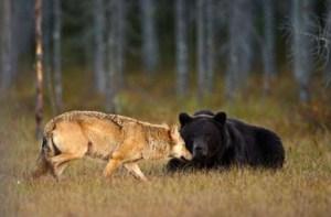 Μια αρκούδα και ένας λύκος έχουν γίνει οι καλύτεροι φίλοι