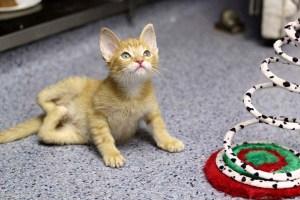 Γατάκι γεννήθηκε με τα πίσω πόδια ανάποδα. Κατάφερε όμως να περπατήσει. Διαβάστε την συγκινητική ιστορία του