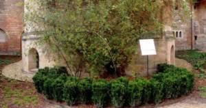 Read more about the article H τριανταφυλλιά που ανθίζει ανελλιπώς εδώ και 1.000 χρόνια