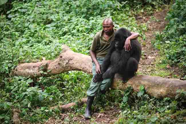 Ένας Φύλακας του πάρκου παρηγορεί γορίλα που έχασε την μητέρα του