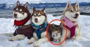 Μια γάτα που σώθηκε από Χάσκυ τώρα νομίζει ότι είναι ένας μεγάλος γενναίος σκύλος