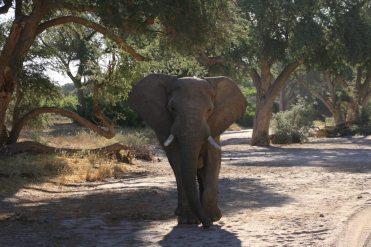 Männlicher Wüstenelefant im Damaraland