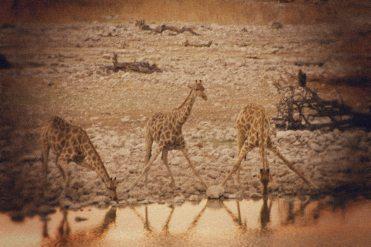 Giraffen am Wasserloch in Okaukuejo