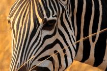 Zebra Portrait.