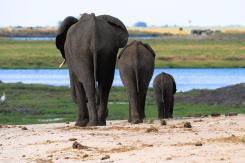 Elefanten-Trio