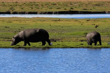 Grasende Nilpferde am Chobe River.
