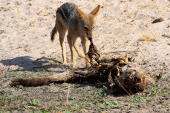 Jackal eating a Hyena.