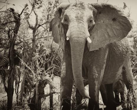 Schreckmoment in 50mm. Elefant in Nahaufnahme