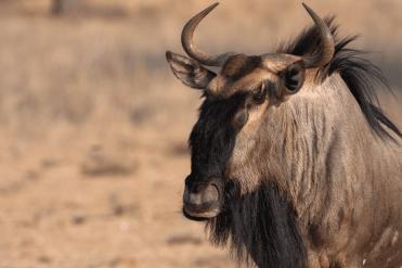 Portrait eines Gnu (Wildebeest), Kgalagadi