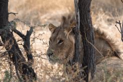 Junger Löwe, Kgalagadi