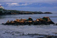 Robbeninsel vor Vancouver Island