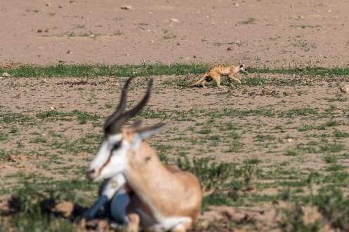 Erdmännchen und Springbock, Kgalagadi