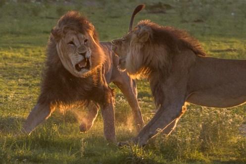 Kampfende Löwen im Kgalagadi
