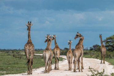Giraffen in Etosha