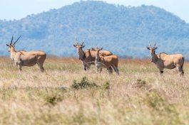 Kuhantilopen im Mikumi Nationalpark in Tansania