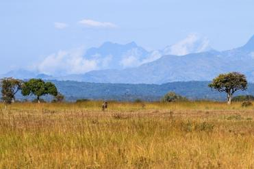 Gnu im Mikumi Nationalpark in Tansania