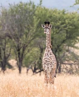 Giraffenbaby in der Serengeti