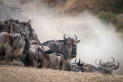 Great Migration: Gnus vor dem Sprung in den Mara River