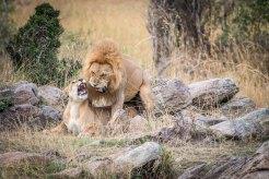Paarende Löwen in der Serengeti