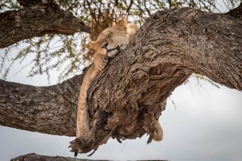 Junger Löwe auf einem Baum in der Serengeti