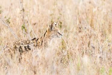Serval in der Serengeti