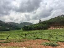 Reisebericht Ruanda: Teeplantagen