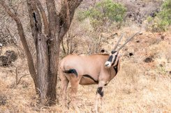Fringe-eared Oryx im Tsavo West