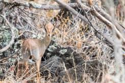 Steinböckchen im Tsavo West