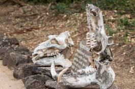 Nilpferd Schädel im Tsavo West