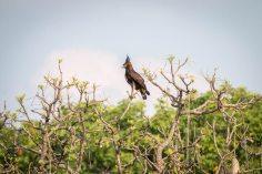 Schopfadler (Long-crested eagle) im Luambe Nationalpark