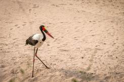 Sattelstorch (Saddle-billed stork) im South Luangwa Nationalpark