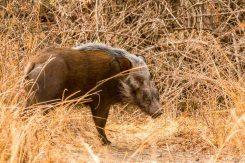 Buschschwein (bush pig) im South Luangwa Nationalpark