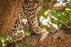 Leopard im South Luangwa Nationalpark