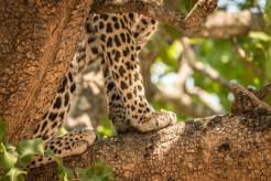 Leopard im South Luangwa Nationalpark