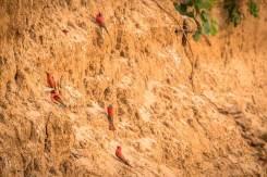 Karminspinte (Southern carmine bee-eater) vor ihren Nestern