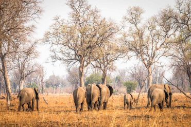 Elefanten im South Luangwa Nationalpark