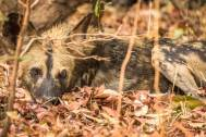 Schlafender Wild Dog im South Luanga Nationalpark