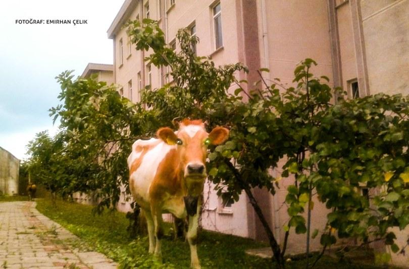 Giresun-Üniversitesi-Kampüste-İnek
