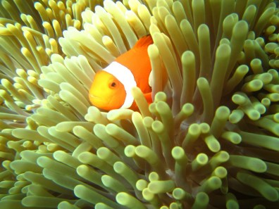Bali Honeymoon Menjangan snorkelling clown fish