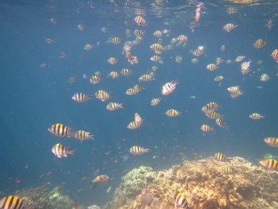 Bali Honeymoon Menjangan snorkelling shoal of fish
