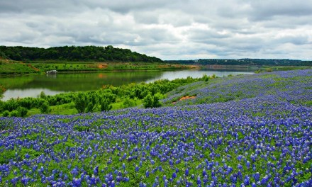 Bluebonnet Love