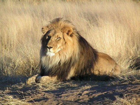 image of lion at rest