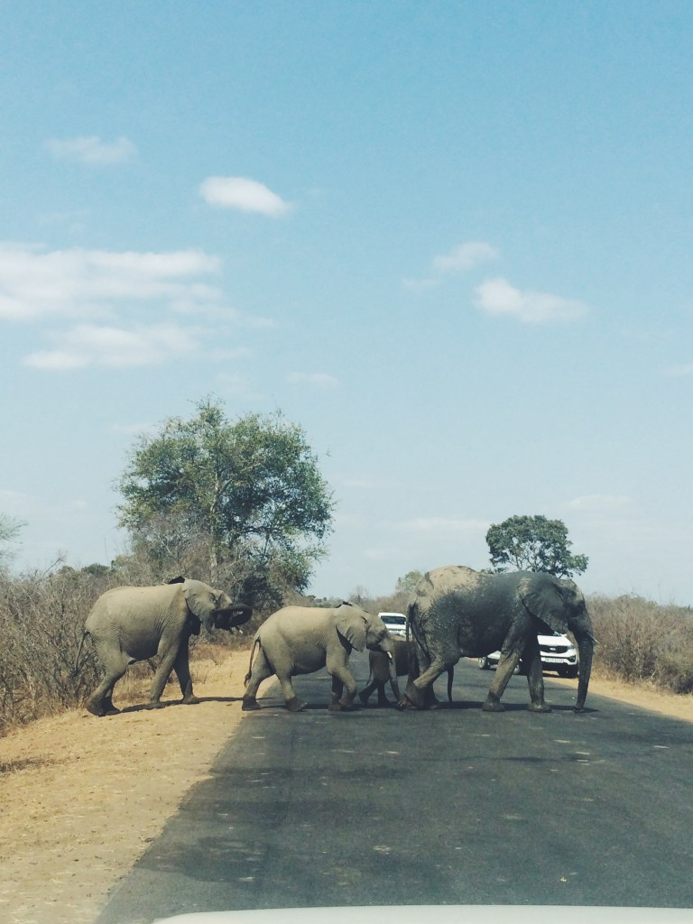 Elephants on a safari in Kruger Park, South Africa